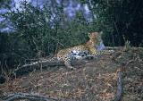 leopard-3.jpg