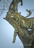 leopard-14.jpg