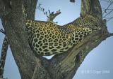 leopard-15.jpg