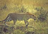 leopard-18.jpg