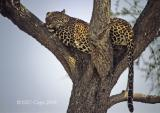 leopard-21.jpg