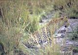 leopard-7.jpg