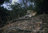leopard-29.jpg