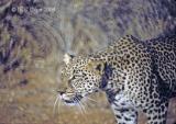 leopard-30.jpg