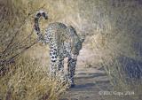 leopard-32.jpg