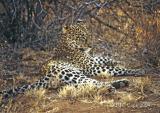 leopard-33.jpg
