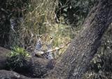 leopard-101.jpg