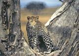 leopard-103.jpg