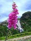 Foxglove in Glen Nevis