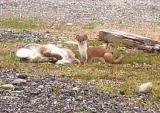 Stoat and rabbit.