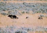 Sow griz with 3 cubs