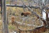2 cinnamon cubs near Elk Creek