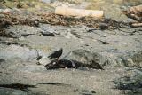 Turkey Vultures feasting on seal