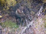 Moose calf - Grand Teton N.P.