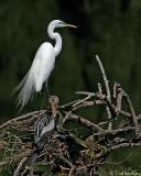Great Egret  / Anhinga