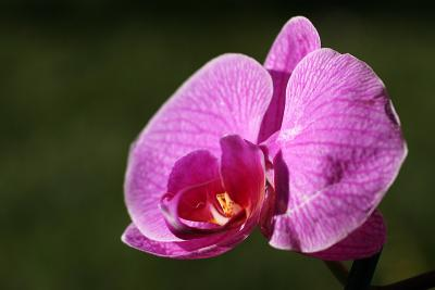 Orchid*