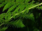 Ferns Near the Freeman Grove