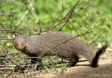 Grey Mongoose.jpg