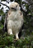 Changeable Hawk Eagle juv.jpg