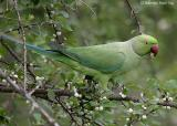 Rose-ringed Parakeet.jpg