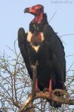 Red Headed Vulture.jpg