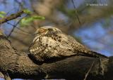 Grey Nightjar.jpg
