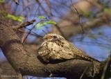 Grey Nightjar_.jpg