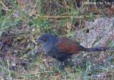 Greater Coucal Juv.jpg
