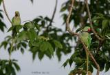 Alexandrine-Parakeets.jpg