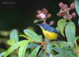 Crimson-breasted_Flowerpecker_.jpg