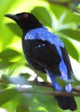 Asian Fairy Bluebird male.jpg