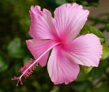 Pink Hib.JPG