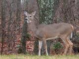 11/20/04 - White Tailed Deer