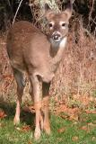 11/26/04 - White Tailed Yearling