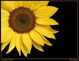 Sunflower / Sonnenblume