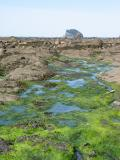 Tide Pools and Algae