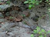 Rattlesnake Slithering Away