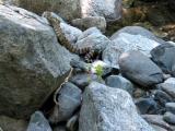 Rattlesnake Poised To Strike