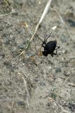 Beetle Caught in Spider Web