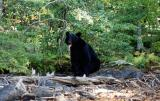 bear-b.jpg
