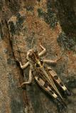 Dociostaurus maroccanus