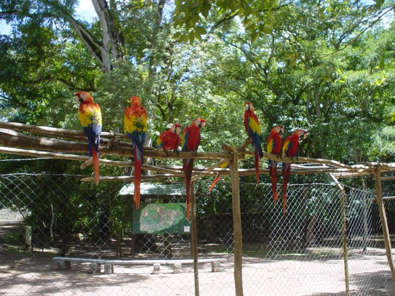 macaws outside Copan