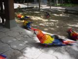macaws at Copan