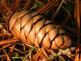Cones, Buds, Berries and Bark