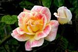 IMG_1475 roses.jpg