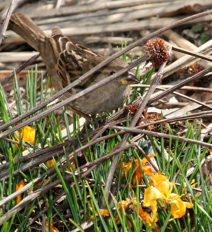 Sparrow Eyeing Crocus Blossoms