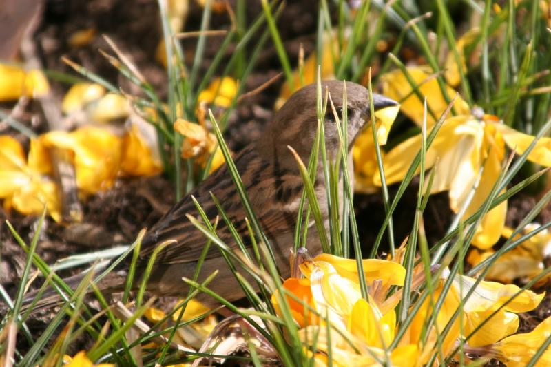 Sparrow Feasting on Crocus Blossoms