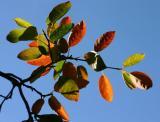 Foliage of an Oramental Tree