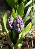 Hyacinth Buds