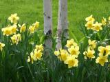 Daffodils - Spring Preview
